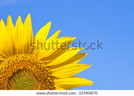 yellow sunflower against a sky background - stock photo