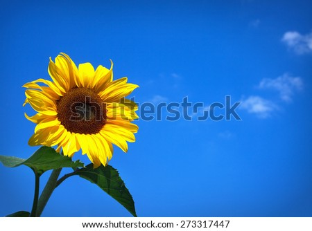 Yellow Sunflower in Summertime on blue sky background, copyspace - stock photo