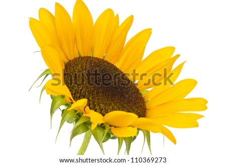 yellow sunflower isolated on a white background - stock photo