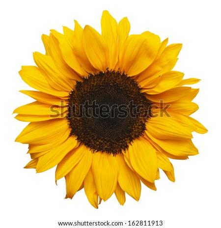 Yellow Sunflower Isolated on White Background. - stock photo