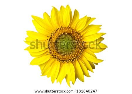 yellow sunflower on white background - stock photo