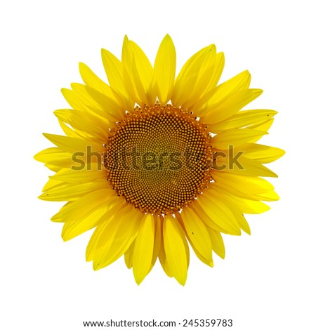 yellow sunflower on white background with path - stock photo