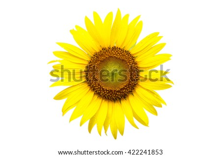 Yellow sunflower with dew drop with clipping path - stock photo