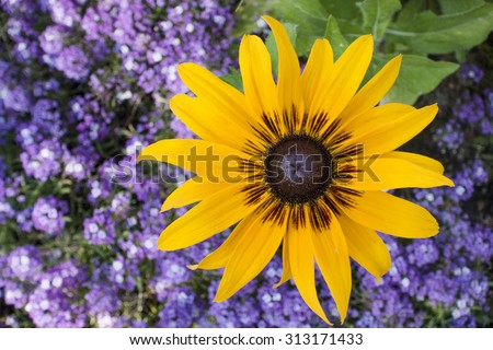 Yellow sunflower with purple background flowers - stock photo
