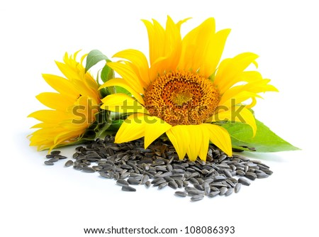 Yellow sunflowers and sunflower seeds on a white background - stock photo