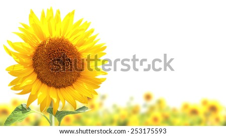 Yellow sunflowers. Isolated over white background - stock photo