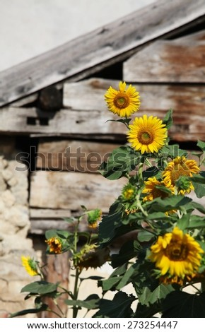 yellow sunflowers on background of old hut. - stock photo