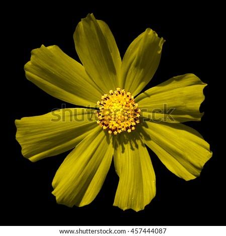 Yellow surreal flower Primula macro isolated on black - stock photo