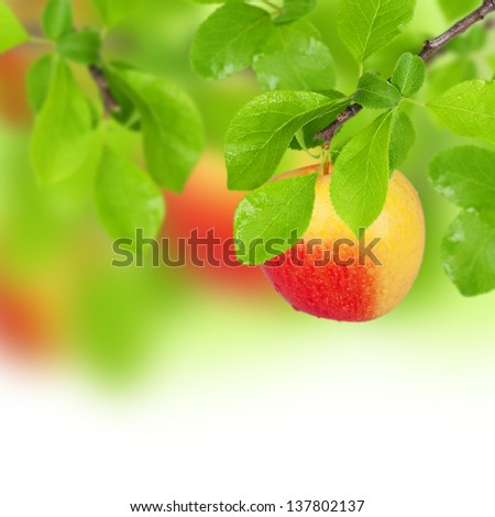 Yellow sweet apple in white background - stock photo