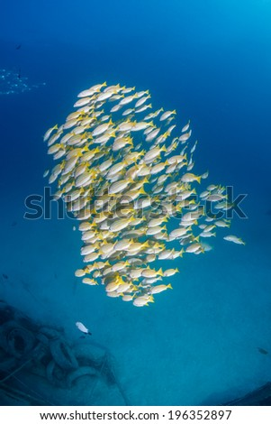 Yellow tailed snapper near a small undersea wreck - stock photo