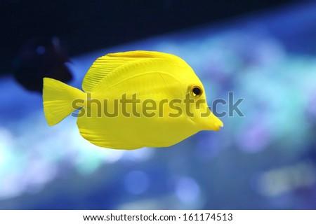 yellow tang fish or zebrasoma flavesenes in the aquarium - stock photo