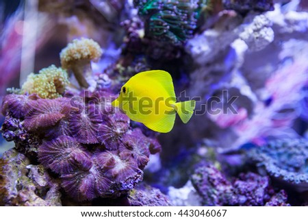 Yellow tang fish swimming in saltwater home aquarium in front of the colorful corals  - stock photo