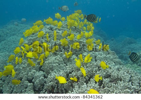Yellow Tang Schooling - stock photo