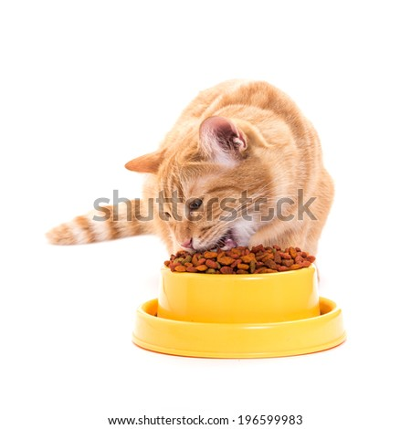 yellow thai cat eats dry food cat from a bright yellow bowl. isolated white background - stock photo