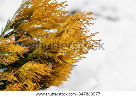 Yellow thuja tree branch against a background of snow in the win - stock photo