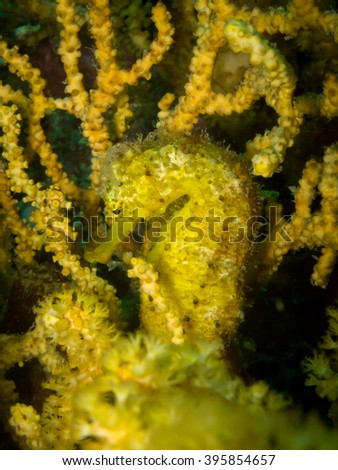 Yellow tiger tail seahorse hide in soft coral - stock photo