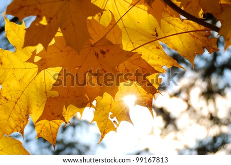 yellow tree leafs close-up in Fall season. Shallow depth of field - stock photo