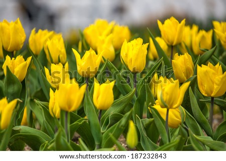 Yellow Tulip - stock photo