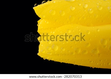 yellow tulip covered with water drops, close up, isolated on a black background - stock photo