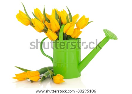 Yellow tulip flower arrangement in green watering can and loose isolated over white background. - stock photo