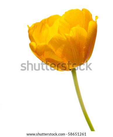 Yellow tulip over white background - stock photo