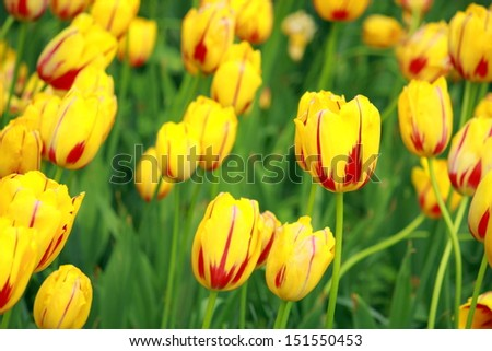 Yellow tulip striped red line on petal - stock photo