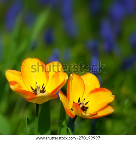 yellow tulips in a colorful garden - stock photo