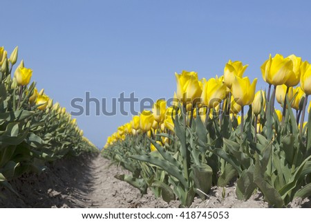 yellow tulips in flower field with blue sky in the dutch noordoostpolder from low angle - stock photo