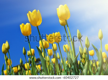 Yellow tulips in sky background - stock photo