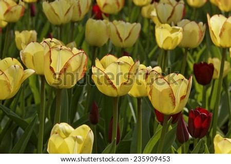 Yellow tulips in spring, Netherlands - stock photo