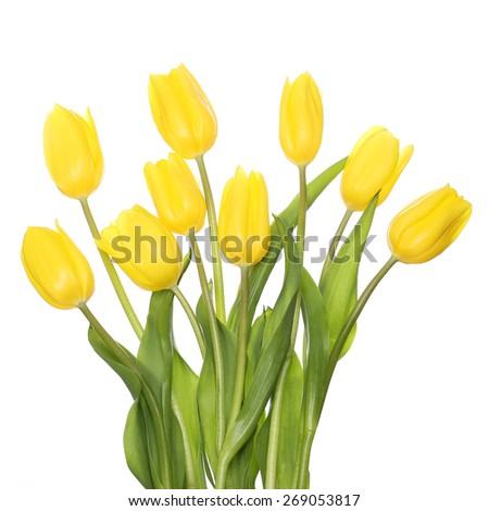 Yellow Tulips isolated on white - stock photo