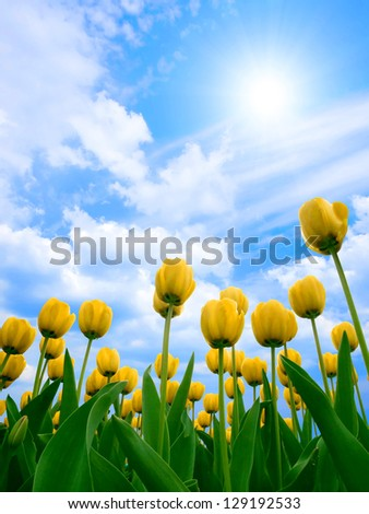 Yellow tulips on blue sky background. - stock photo