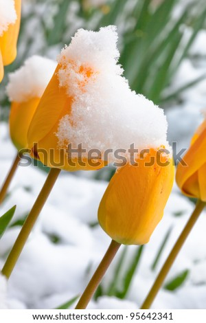 Yellow Tulips Topped with Snow - stock photo