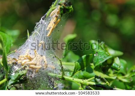 yellow varmint caterpillar close-up eating leaves - stock photo