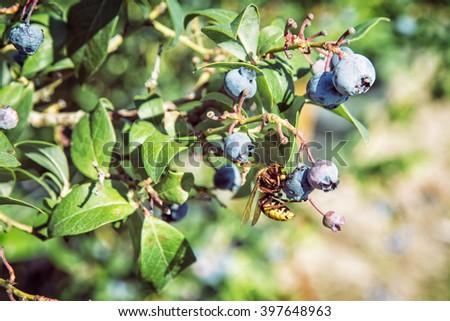 Yellow wasp tasted ripe blackberries. Seasonal natural scene. Fauna and flora. - stock photo