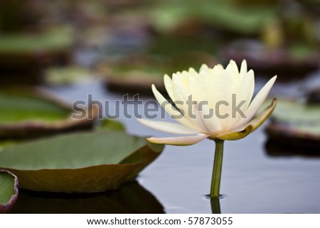 Yellow water lily in a pond - stock photo