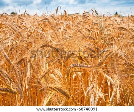 yellow wheat close up with blue sky and white clouds in background - stock photo
