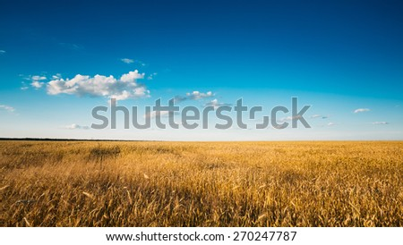 Yellow Wheat Ears Field On Blue Sunny Sky Background. Rich Harvest Wheat Field, Fresh Crop Of Wheat. - stock photo