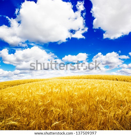 Yellow wheat field under nice blue cloud sky - stock photo