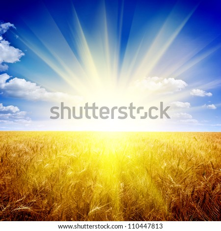 Yellow wheat field under nice sunset cloud sky - stock photo