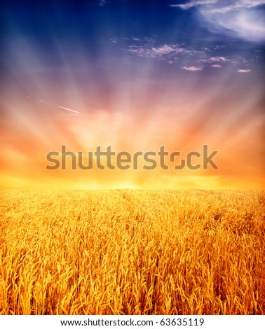 yellow wheat field with sunset sky in background - stock photo