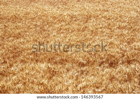 Yellow wheat growing in a farm field - stock photo