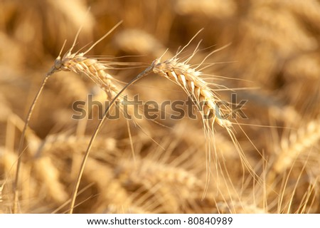 Yellow wheat on a grain field in summer just before harvest - stock photo