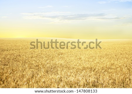 Yellow wheat on the slopes in the morning, in the rays of the rising sun - stock photo