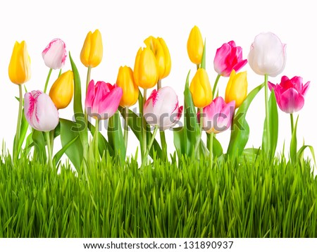 Yellow, white and pink tulips with green grass isolated on white background - stock photo
