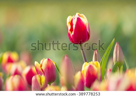 Yellow, white and red dutch tulips in a flowerbed during Spring season in the Netherlands - stock photo