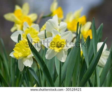 yellow white daffodil flowers closeup. shallow dof - stock photo
