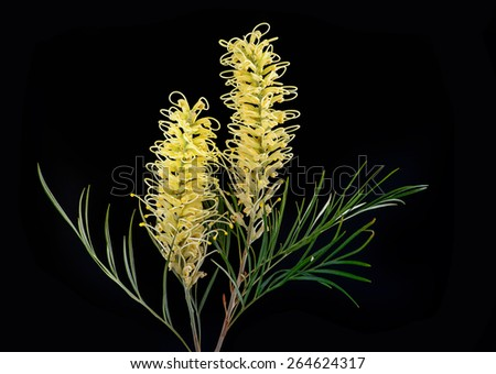 Yellow white Grevillea flower isolated on Black - stock photo