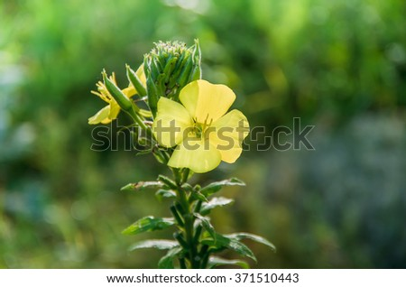 Yellow wild flower blooming in the summer Verbascum Nigrum - stock photo