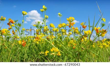 yellow wild flowers - stock photo